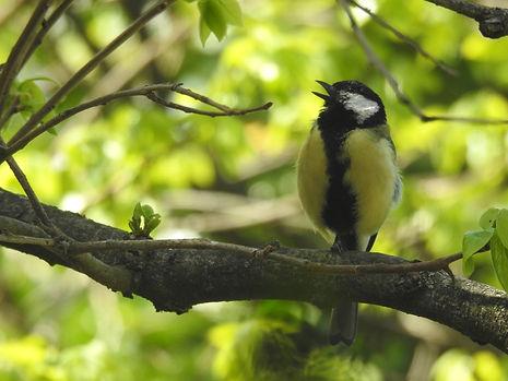 Cinciallegra Uccelli dei giardini.JPG