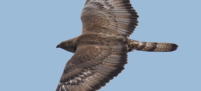 Falco pecchiaiolo .jpg