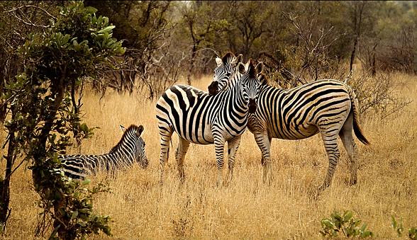 zebras-2801451_1280.jpg