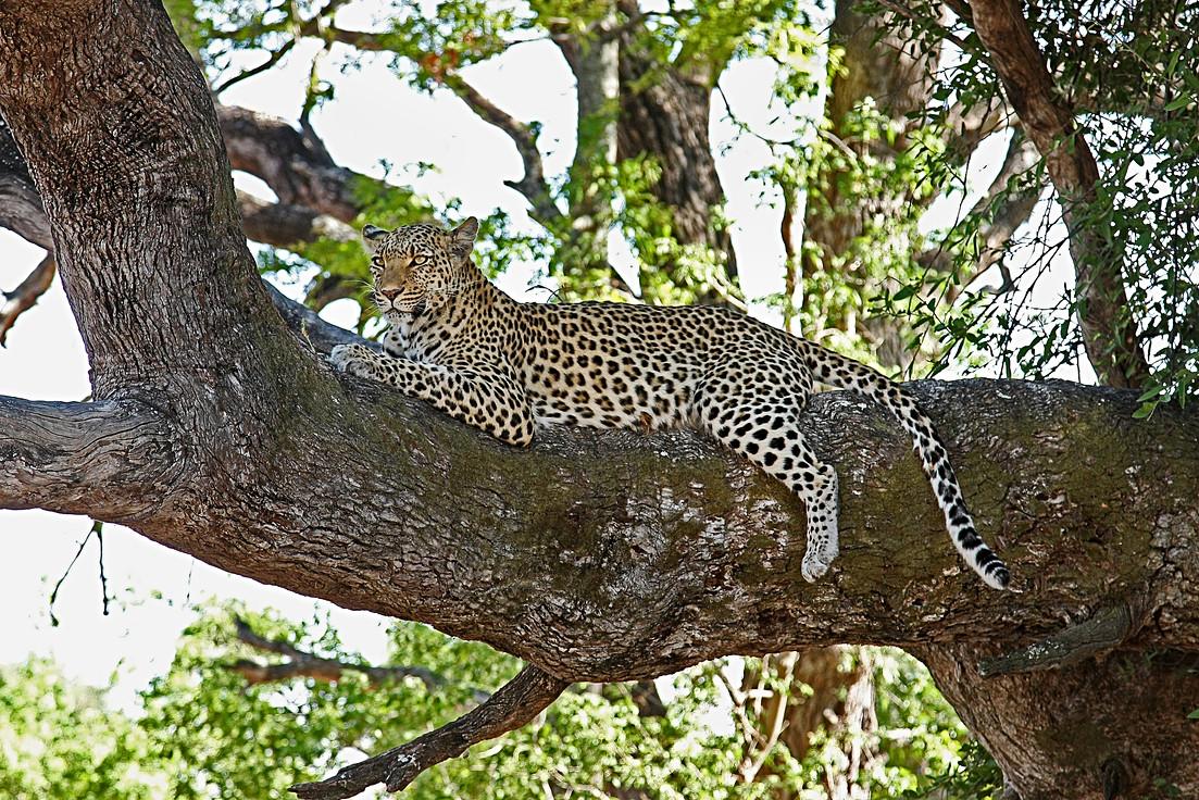 leopard-2923963_1920.jpg