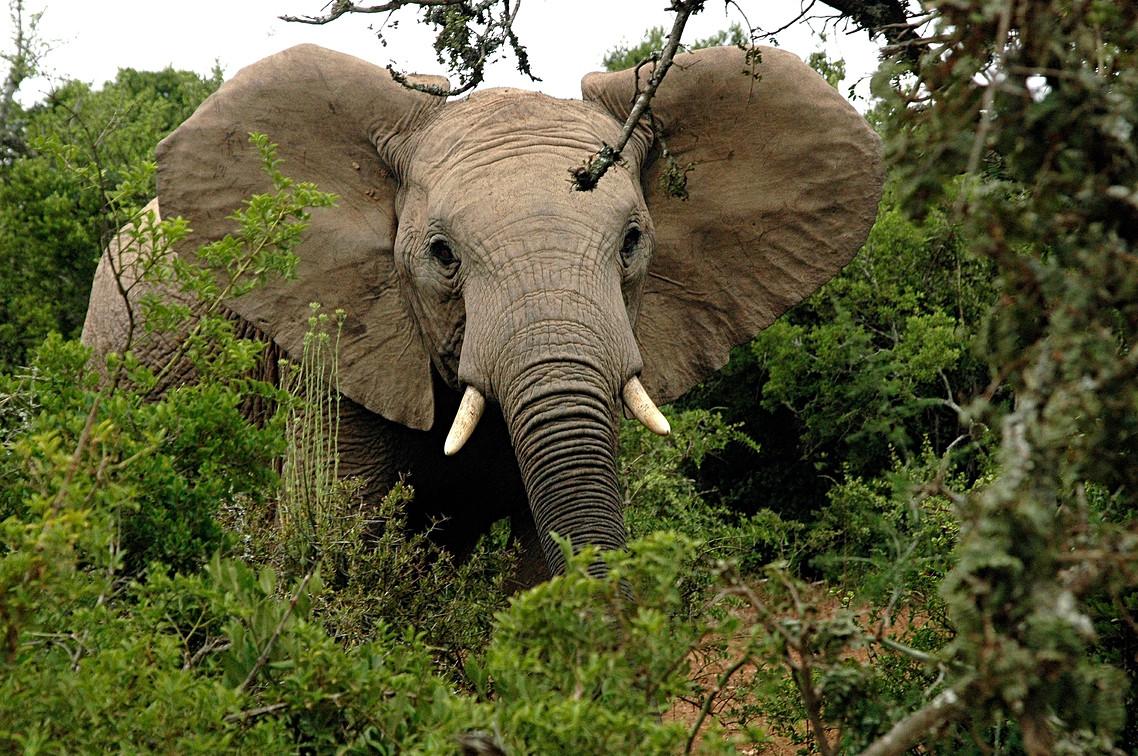 african-elephant-591448_1920.jpg