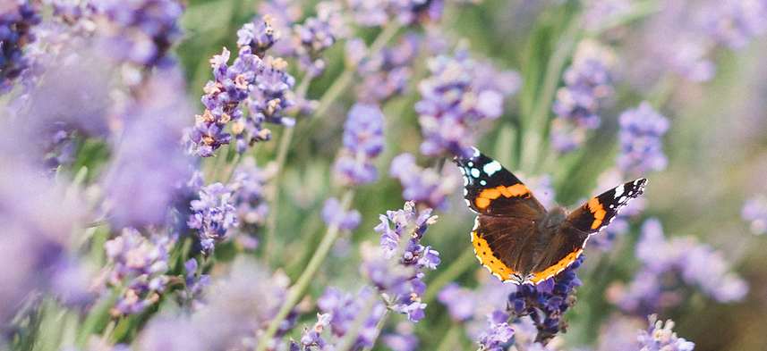lavender-butterfly web 2.png