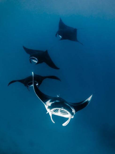 ผีผ้าห่มผู้น่ารักใต้สมุทร Manta Ray