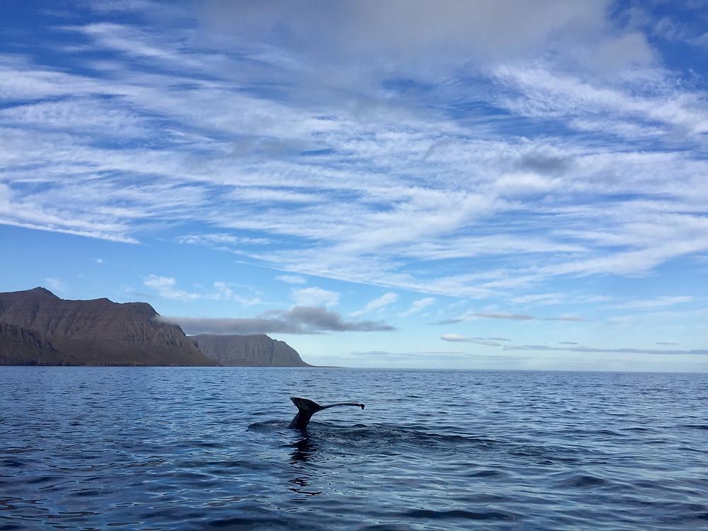 Walvissen spotten in IJsland met een RIB-boot