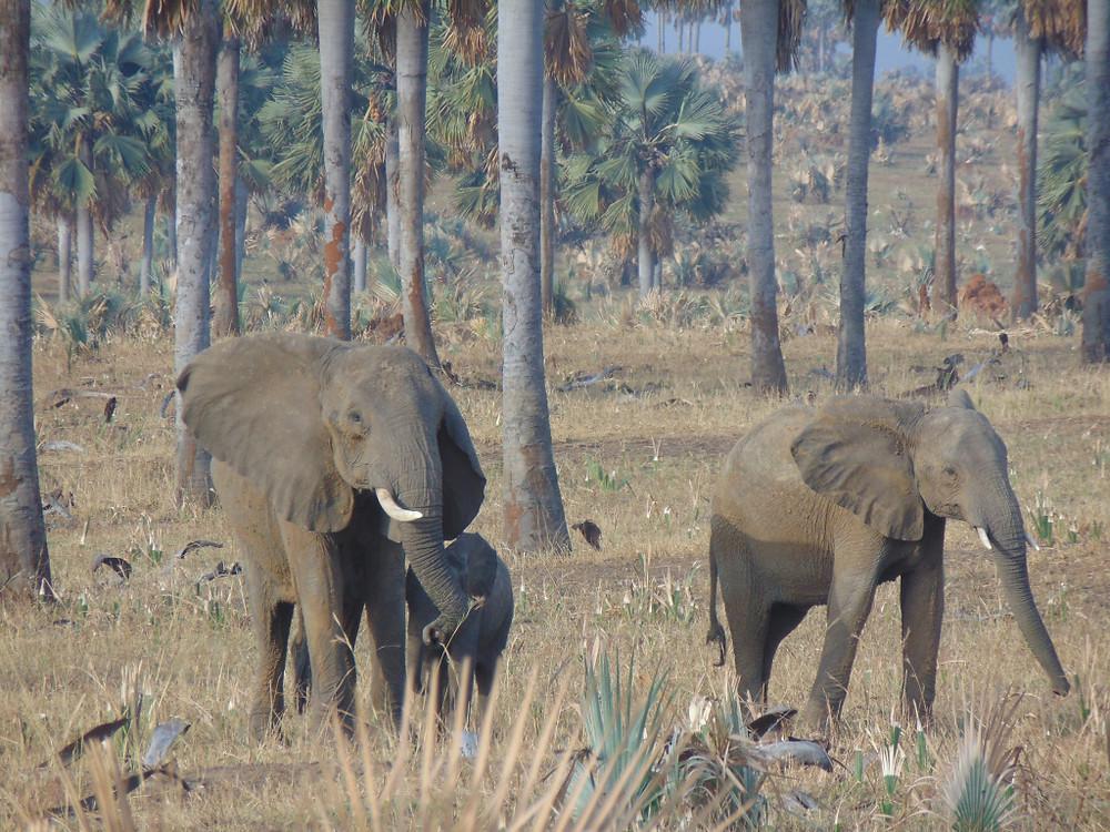 Olifanten spotten tijdens safari in Oeganda