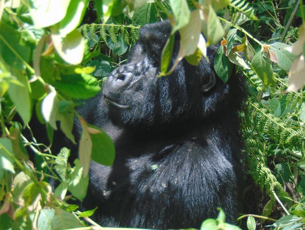Gorilla trekking in Oeganda houdt rekening met dierenwelzijn