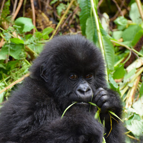 Gorilla trekking in Oeganda