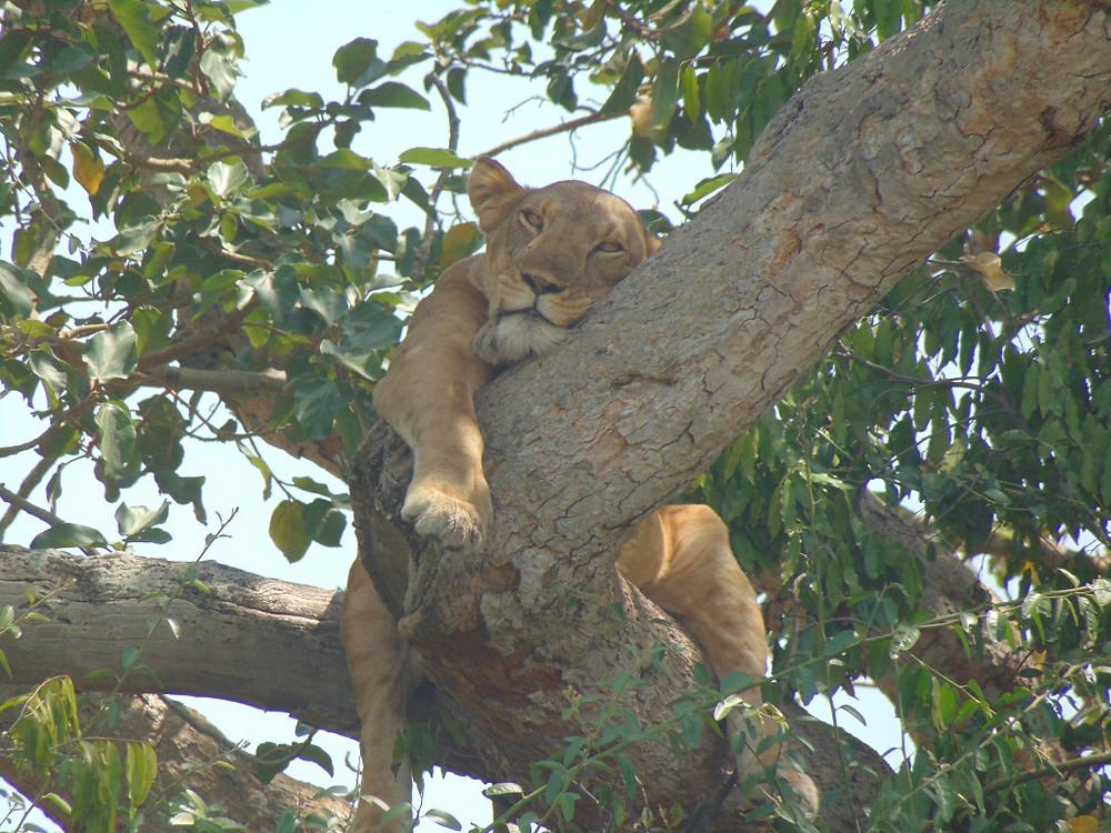 Klimmende leeuwen in Oeganda in Queen Elisabeth National Park