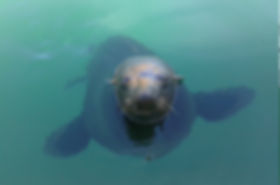 Cape st Francis Seals
