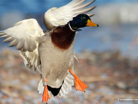 DU Migration Alert: Optimism in the Forecast for Pacific Flyway Waterfowlers