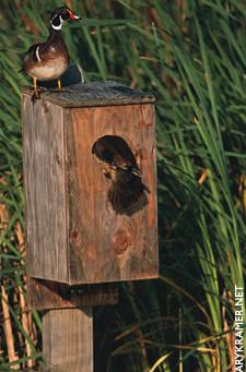 DU Article - Wood Duck Boxes