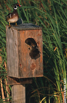 DU Article - Wood Duck Boxes