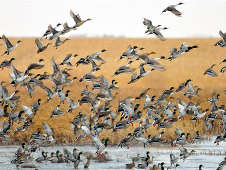 Early-Season Destinations: Four Prairie Waterfowling Hotspots