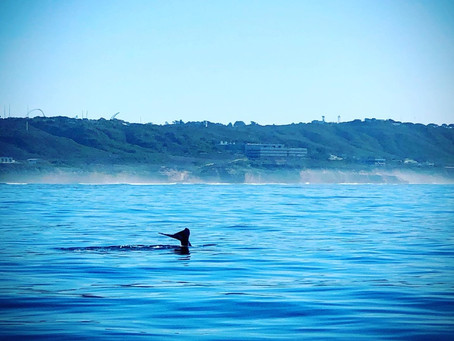 Add a Whale Watching Trip to your San Diego, CA Itinerary