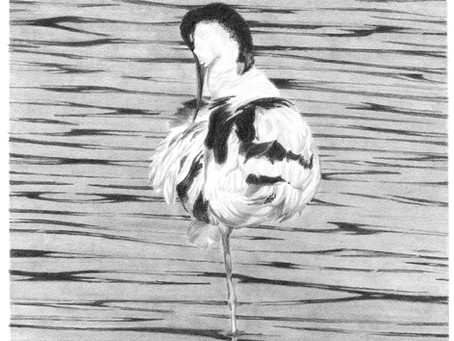 Avocet Preening on show at Stourhead