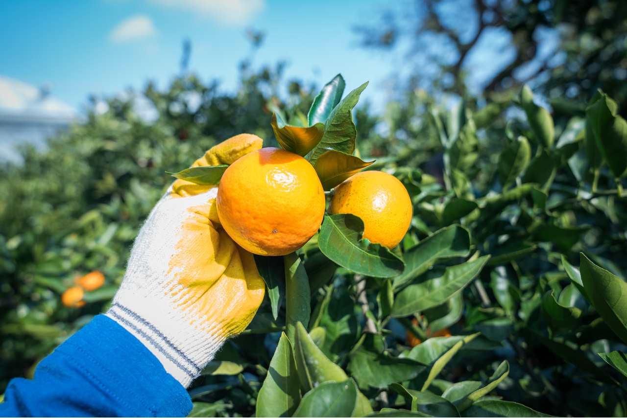 Tangerine Picking