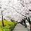 Thumbnail: Spring 7 days Cherry Blossom Jeju+Busan+Gyeongju+Seoul on 31 Mar to 10 Apr