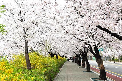 Spring 3 days Seoul & Mt. Seorak Cherry blossom with Nami Island on 7 to 14 Apr