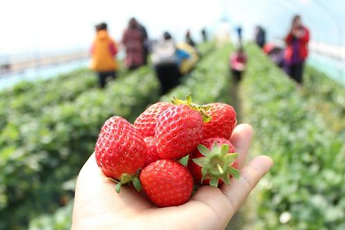 Day tour: Strawberry picking&NamiIsland&PetitFrance&Snow-sledding&Lightfestival