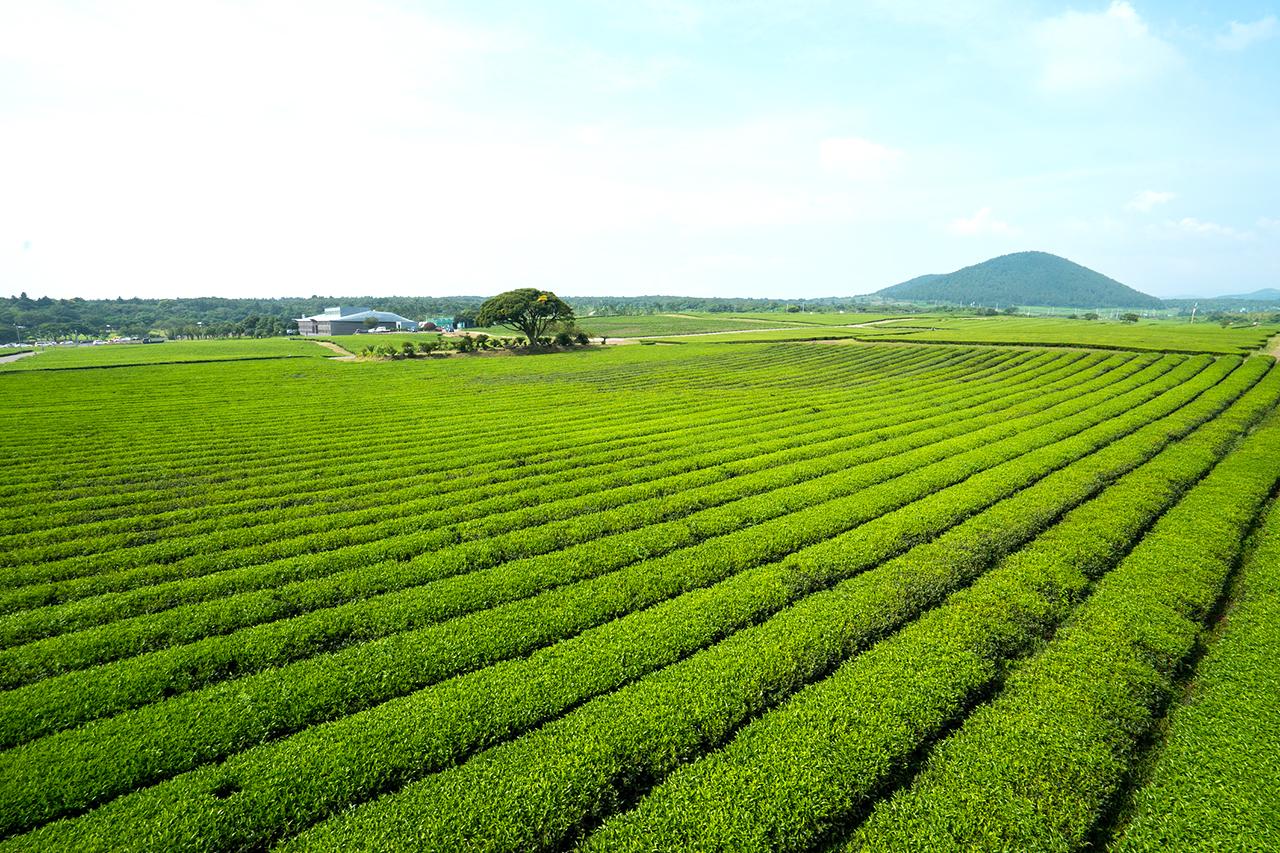 Jeju Osulloc Tea Museum