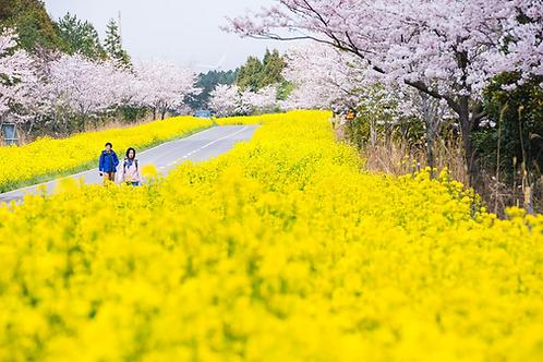 Spring 7 days Cherry Blossom Jeju+Busan+Gyeongju+Seoul on 31 Mar to 10 Apr