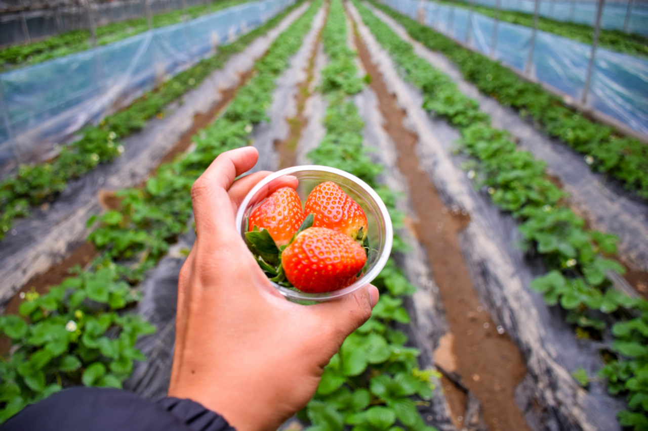 Strawberry Picking Experience