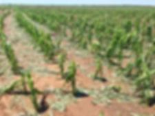 Corn damaged by hail.jpg
