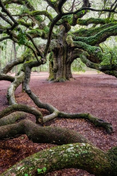 Angel Oak (South Carolina)