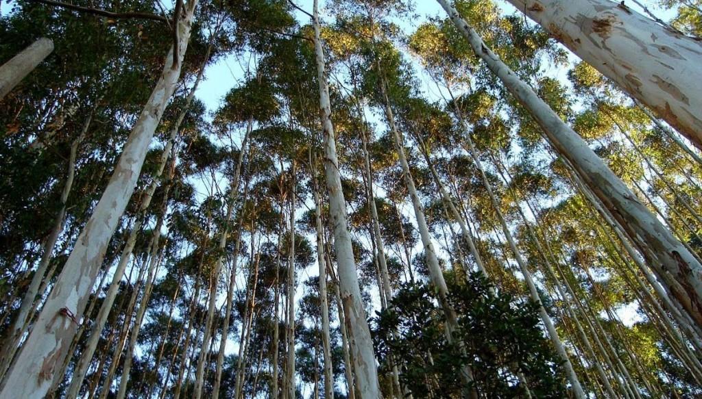 Consultoria para Florestas Plantadas