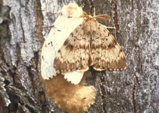 gypsy moth.PNG