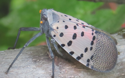 spotted lantern fly.PNG