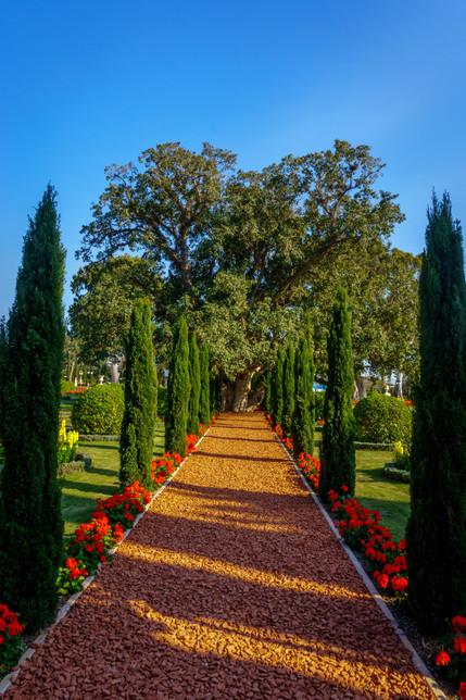 Arbol entre camino en los jardines alrededor del Santuario