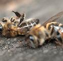 dead-bees.jpg