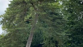 Perilous Pines