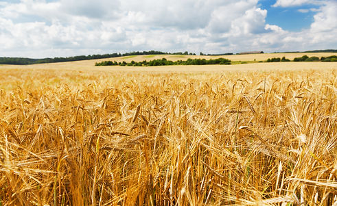 Field of barley in a summer day. Harvest