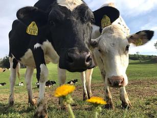 牛たちも年頃になれば外で羽を伸ばしたいでしょう。放牧は牛本来の生態に任せた、非常に効率の良い飼い方だと言えます。