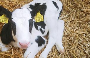将来の搾乳牛たちが問題なく健康的に育つためには、育成・哺乳期の管理も重要になります。仔牛たちの姿から親牛の健康状態も少しイメージできます。