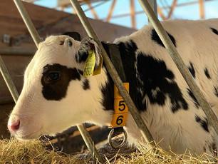 牛が初めての出産を迎えるまでは約2年かかります。逆に言うと、子供である期間は2年程度しかありません。人よりも時が経つのが早い分、1秒1秒を大切に育ててあげたいですね。