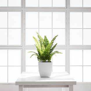 Table Fern