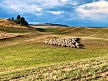 Sheep near setout.jpg