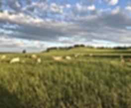 Sheep in tall grass.jpeg
