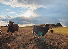 Wyatt with sheep.jpg