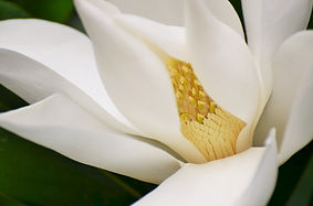 magnolia_tree_nature_plant_flora_flowers