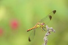 South Korea, Dragonfly #1