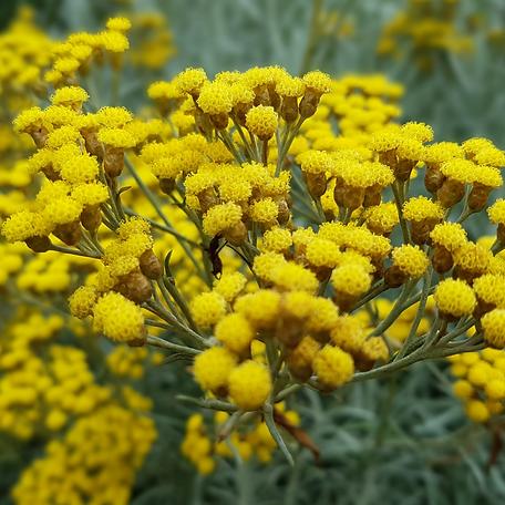 Helichrysum-italicum.png