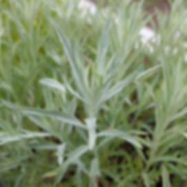 Artemisia-ludoviciana.png
