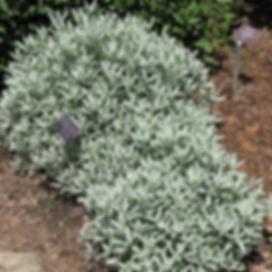 Artemisia-ludoviciana (1).png