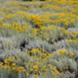 Helichrysum-italicum (1).png