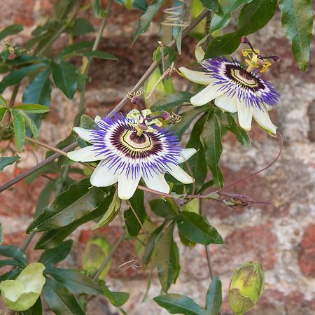 passionflower-ig.png