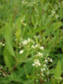 dogbane-1 Native Plant Nursery LLC, nati